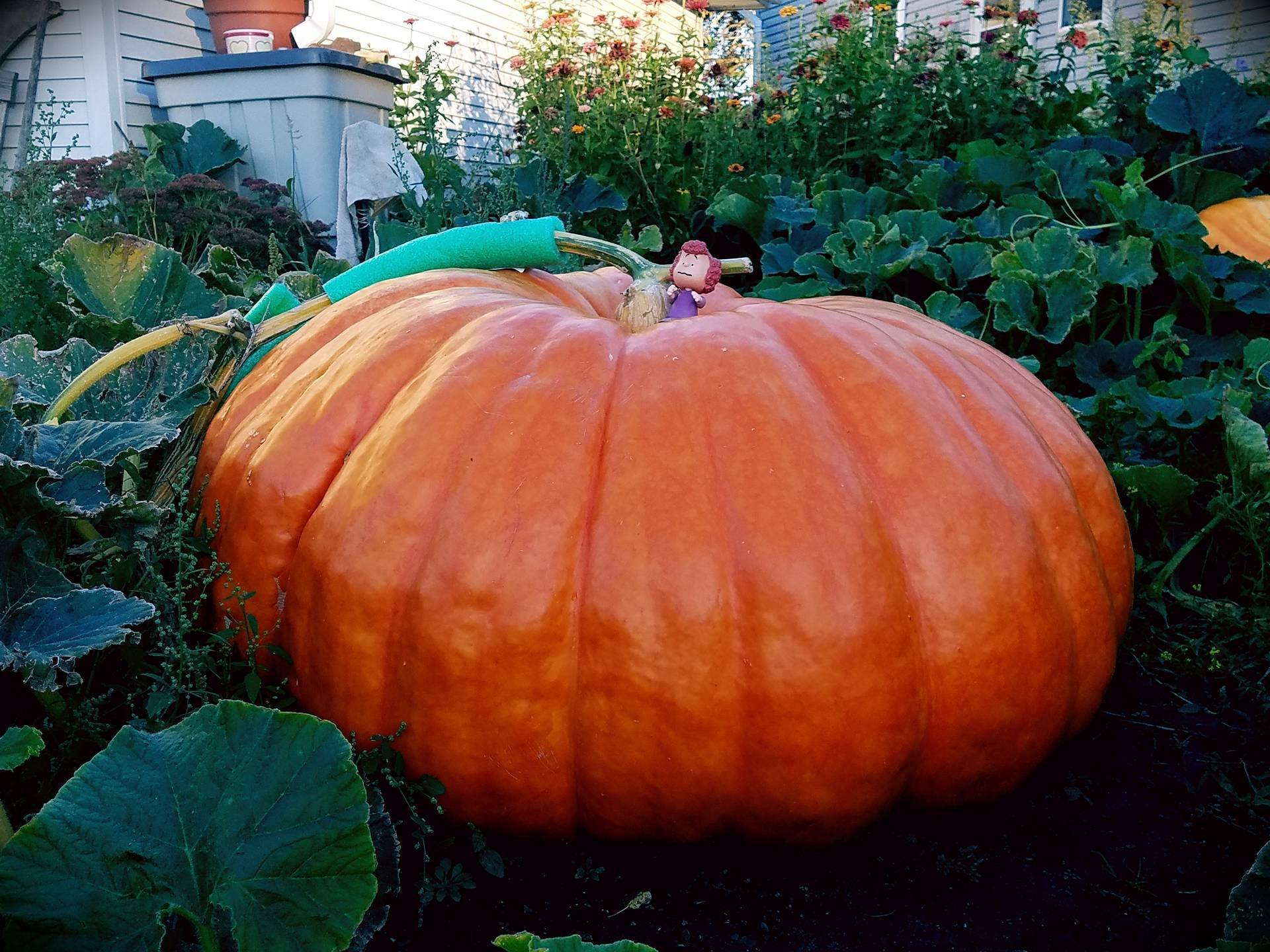 Cinderella, the giant pumpkin, will soon be picked for the season. (Courtesy: Shannon Engel)
