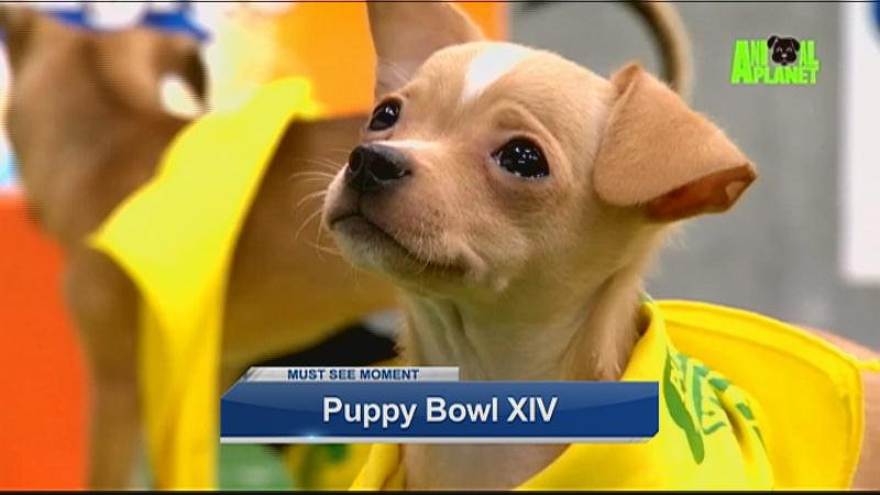 DC area dog adopted from City Dogs Rescue participating in Puppy Bowl