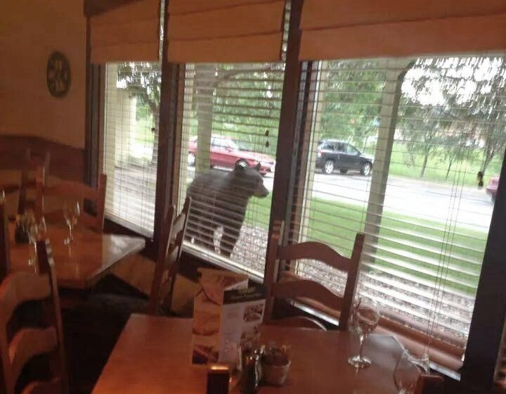 Black Bear Shows Up At Eau Claire 39 S Olive Garden Without